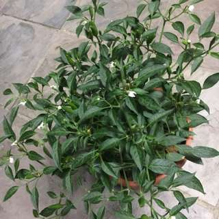 Chilli padi plants