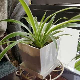 Spider Plant Air Purifier