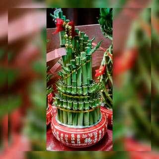 CNY Gifting Lucky Bamboo