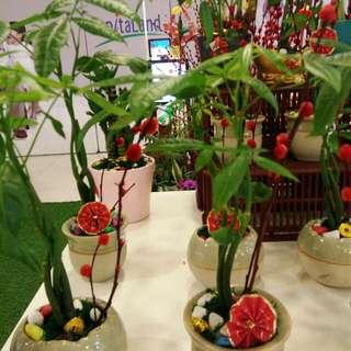 Indoor Plants, FU SHUI  Pachira,  风水发财树 小盆栽