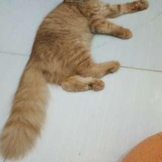 Kucing persia betina umur 5 bulan