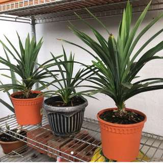 For Sale- Pandan, Aloe Vera, money plant