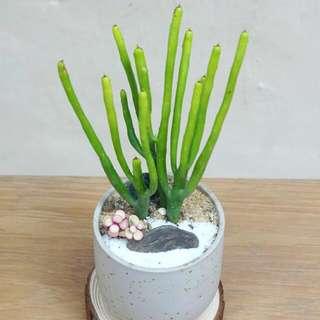 奇趣綠珊瑚 盆景 盆栽 Pencils Tree 沙漠系列  20cm(H) 連盆 多肉植物  大戟科  (Euphorbia tirucalli)  Succulent Plant with Pot 易種