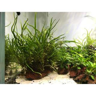 Needle Leaf Java Fern on Lava Rock for Aquarium Planted Tank (C)