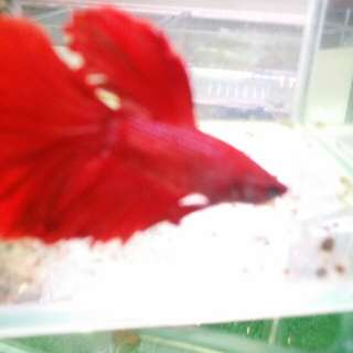 Male full moon red devil beta