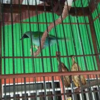 Burung cica hijau