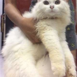 Kucing Kitten Maine Coon x Persia
