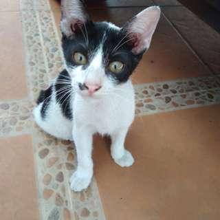 Dicari yang mau adopsi kucing, buat cat lover yg serius, gratis