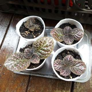Baby Episcia plant