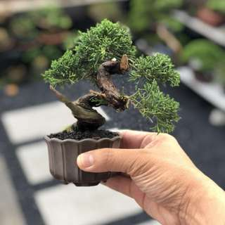 Japanese Mame Shimpaku Bonsai