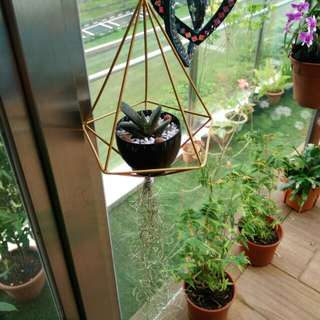 Hanging diamond shape container with succulent and air plant