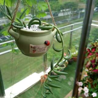 Rare succulent with hanging pot