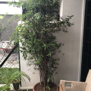 Exceptional outdoor bamboo plant