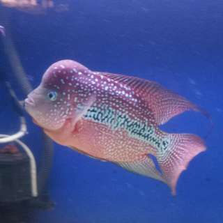 Louhan Fish kamfa