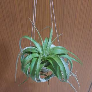 Air Plant Xerographical for sale!