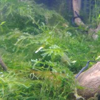 Aquarium plant - Christmas moss