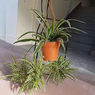 Spider plant (flowering)