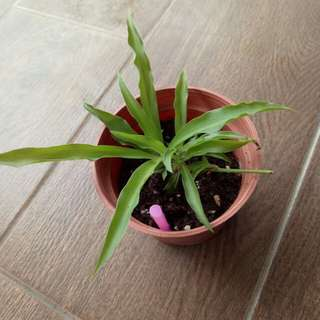 Baby Spider Plant