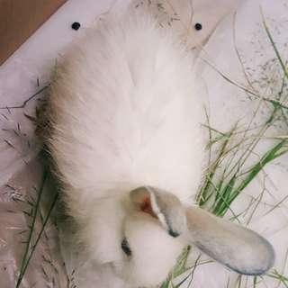Kelinci anggora putih polos langka