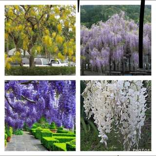Wisteria Mix Colour Seeds
