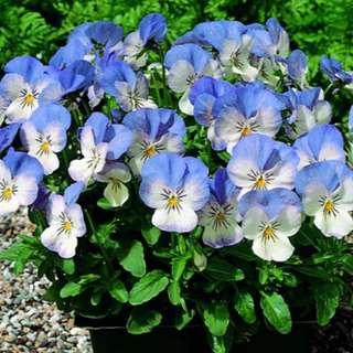 Blue/White Pansy Viola Cornuta Seeds