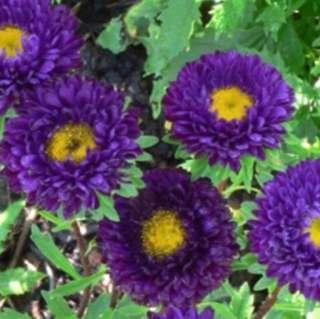 Purple Double Callistaphus Chinensis Seeds
