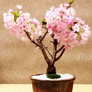 +Gardening+ Japanese Sakura Bonsai Seeds 1 For 1 Promo Buy 1 Get 1 Free