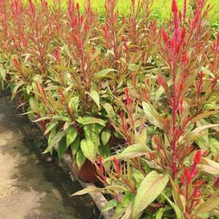 CNY Offer Celosia (Red/Yellow)