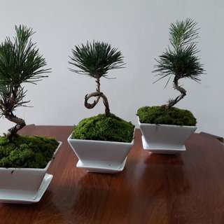 Japanese Bonsai Potted Plant