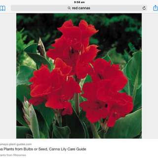 Red cannas $3 a pot limited stock