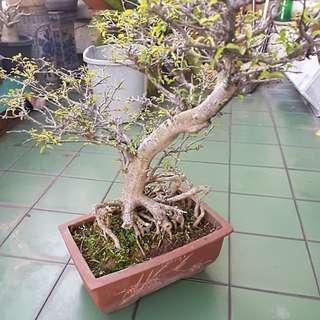 Plant - shui mei bonsai