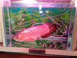 Ikan arwana gold red 50 centi