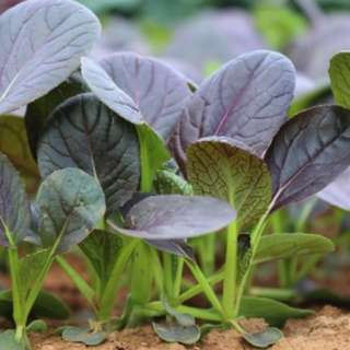 Bok Choy 'Summer Purple H' (Brassica Rapa Chinensis Group) Vegetable Plant, 1.5g (~150) Seeds