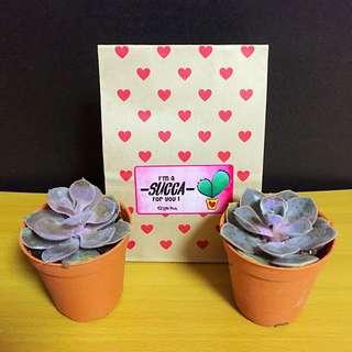 Valentine's Day Succulent