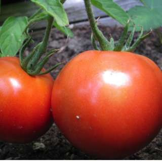 Red Dwarf Tomato 'Alka' (Lycopersicon Esculentum Mill.) Vegetable Plant Seeds, Early Heirloom