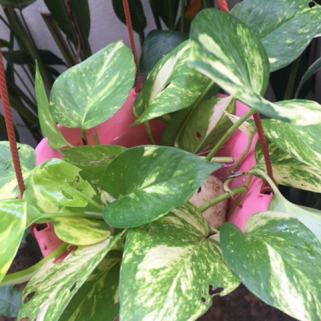 Evergreen plant in hanging pot