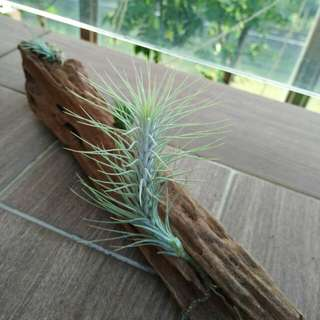 Wood with 4 air plants