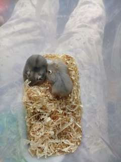 Hamster winter normal dan argente