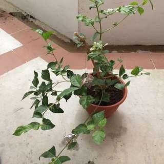 Blooming jasmine (value buy)