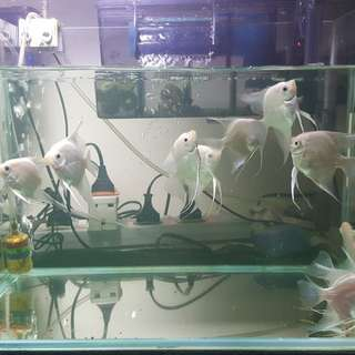 Giving out hobby Angelfish plus tank filter at low price