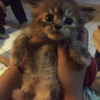 Anak Kucing Persia - Tabby