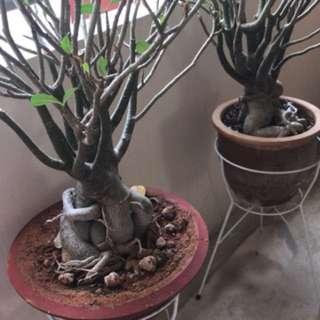Adenium,draco,palm plants