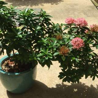 Miniature ixora pink like bonsai plant
