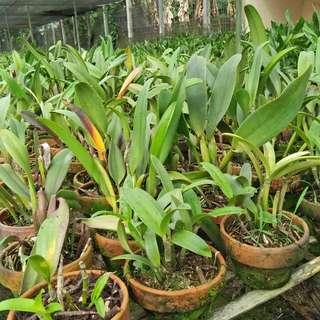 Anggrek Cattleya  Hybrid