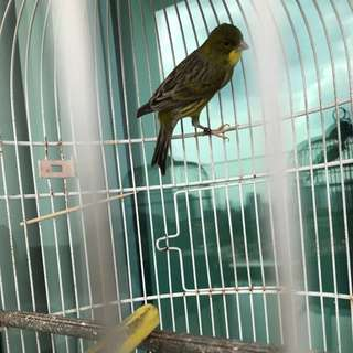 Selling out canary bird and cages