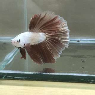 Rose gold Halfmoon betta for sale pm me for price