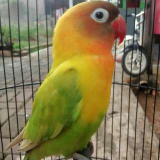 Love Bird Pasjo Cemong