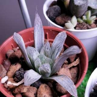 haworthia silver swirl