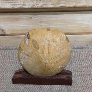 🚚 海膽化石 * 原石標本 * 可供教學