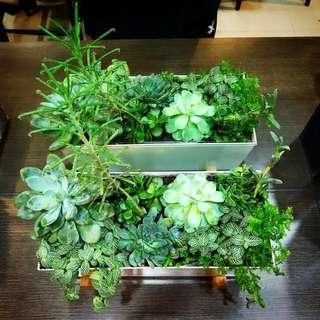 Succulents plant
